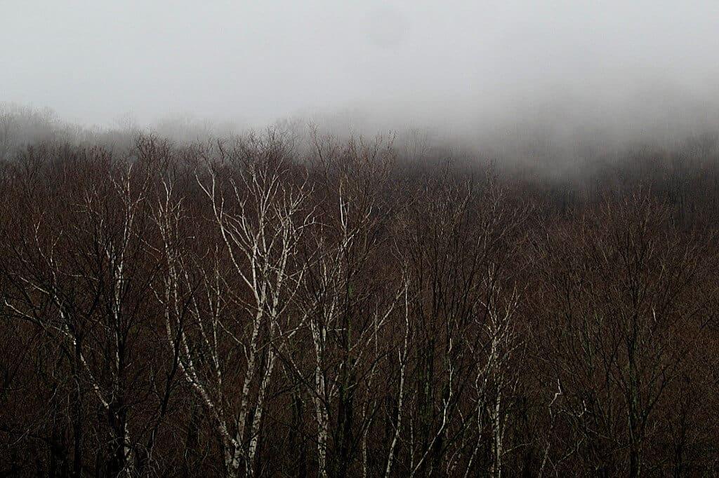 Birch trees shining through the fog.