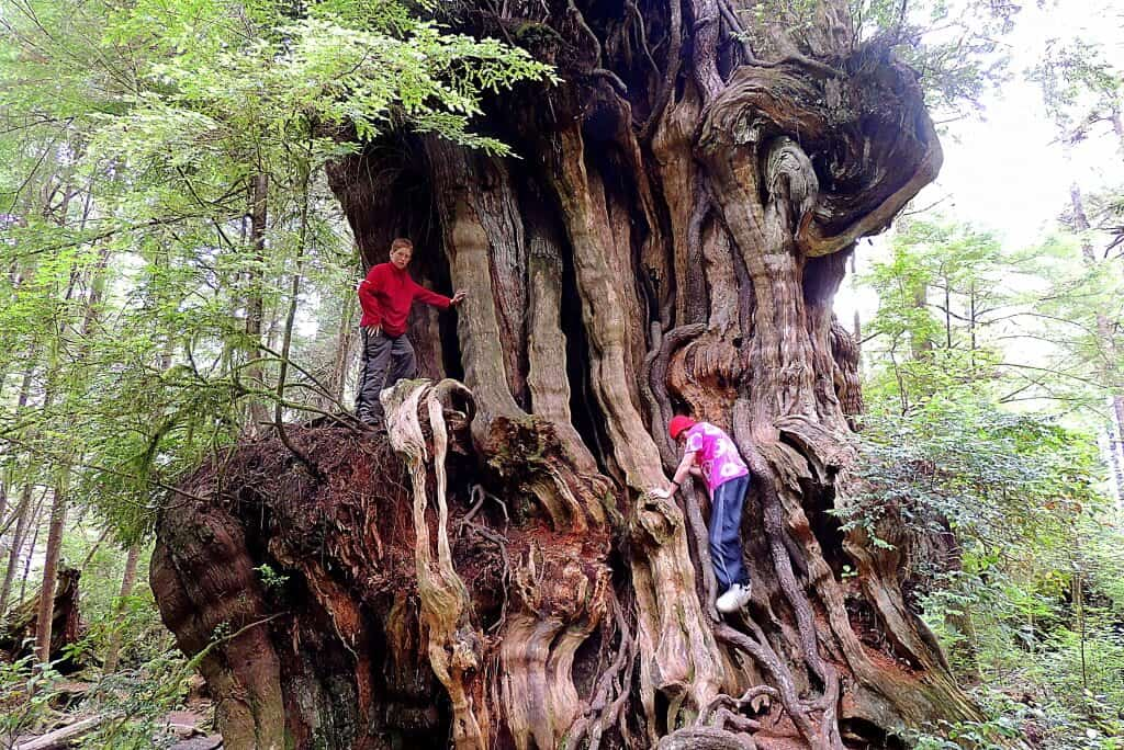 Two kids climb in an old cedar tree in Olympic National Park near the Quinault Rainforest.