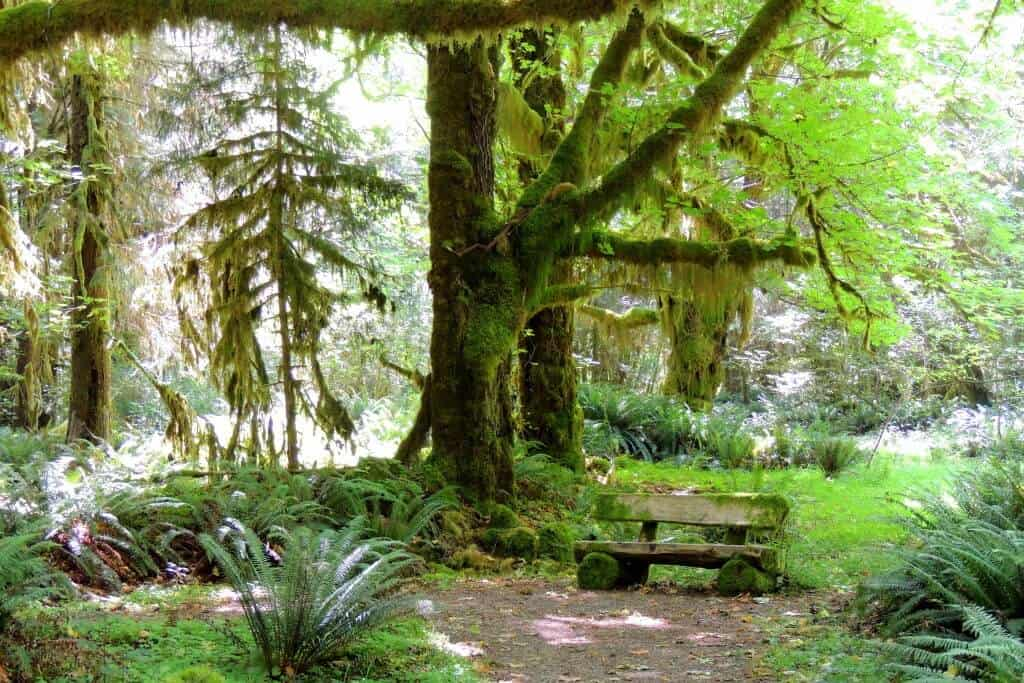 A bench along the trail in the Quinault Rainforest in Olympic National Park.