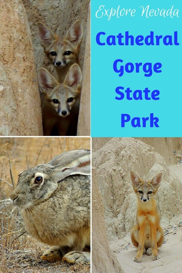 foxes and jackrabbits in Cathedral Gorge State Park
