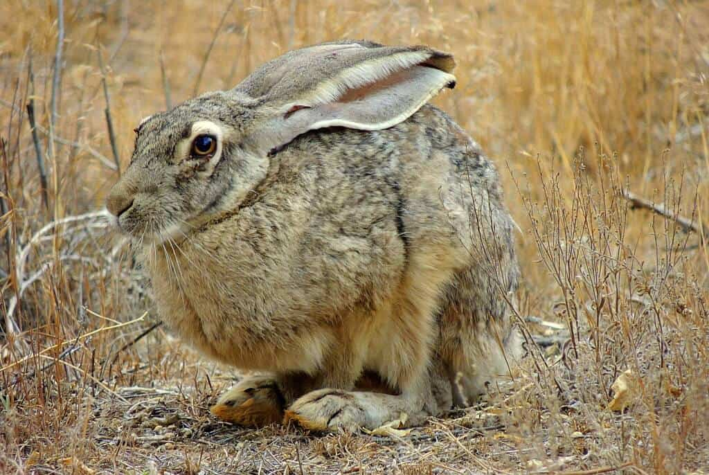A jackrabbit in the desert at Cathedral Gorge State Park in Nevada
