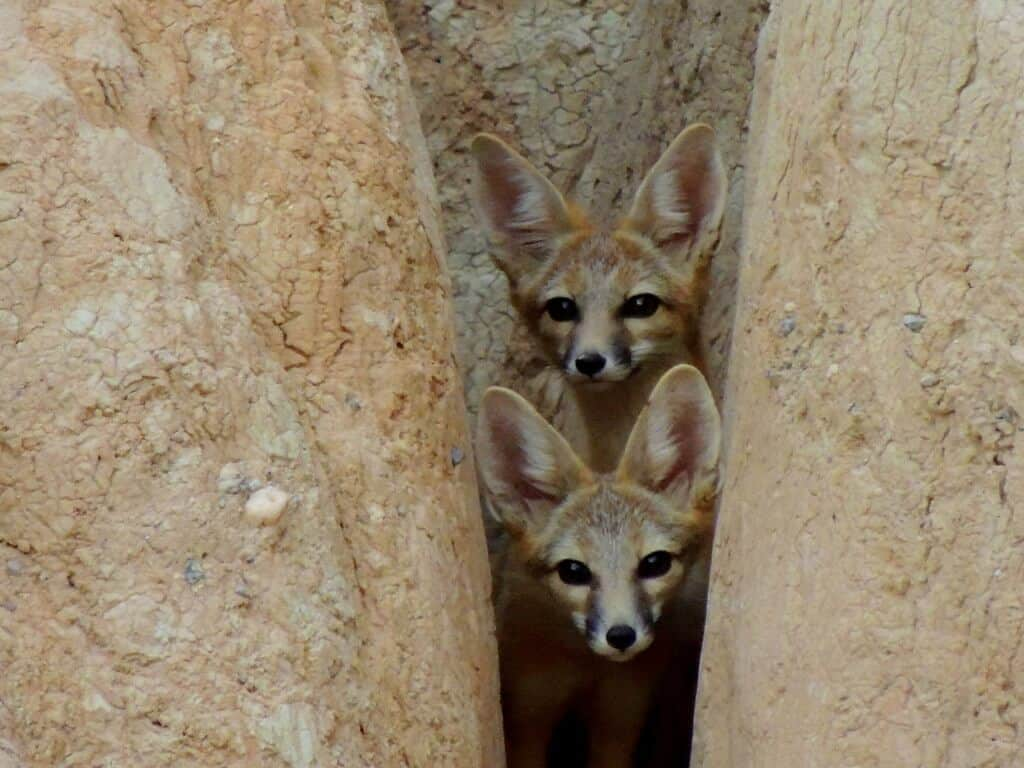 Two kit foxes peaking out from boulders in Cathedral Gorge State Park