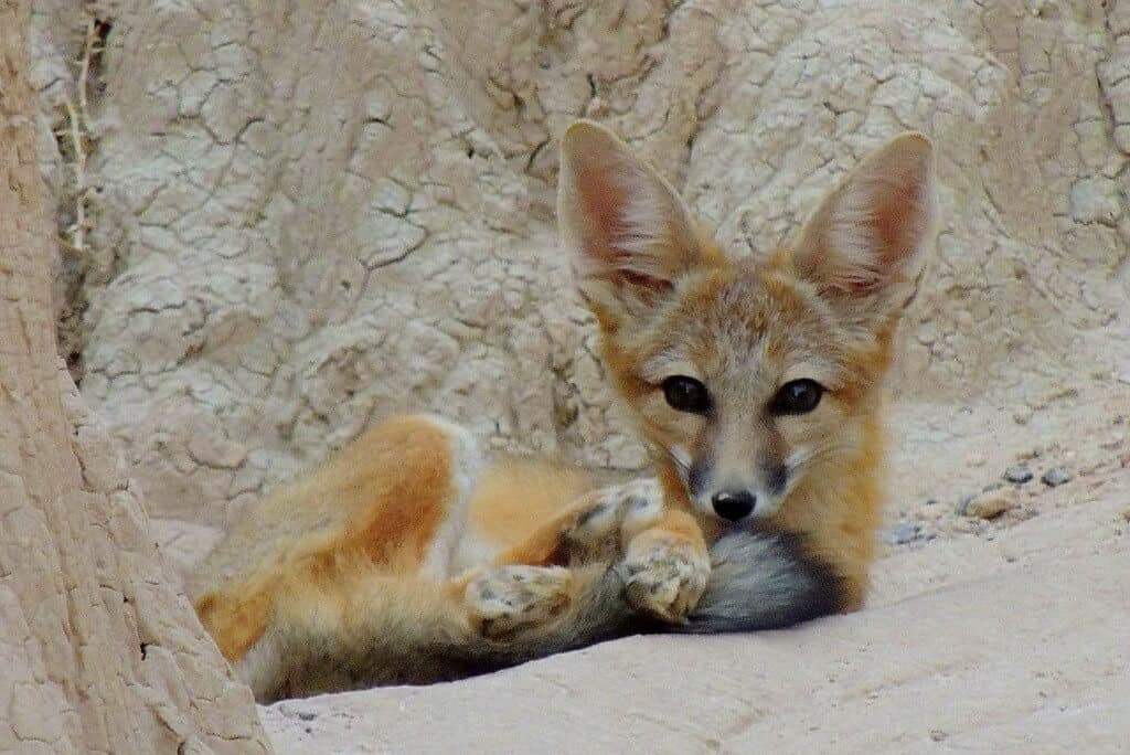 A kit fox laying down in Cathedral Gorge State Park