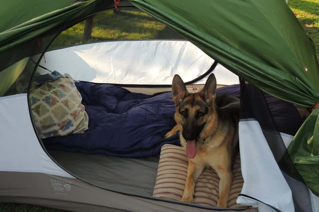 a German Shepherd dog lies in a tent with his tongue out on a camping road trip.