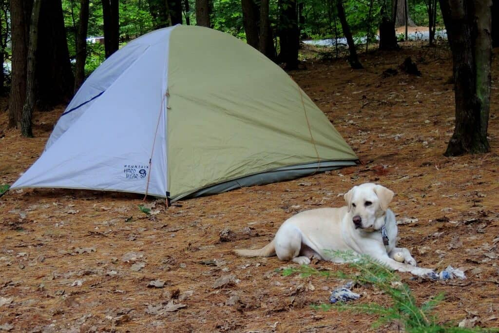 A yellow Labrador lies in front of a small, two-person tent on a camping road trip.