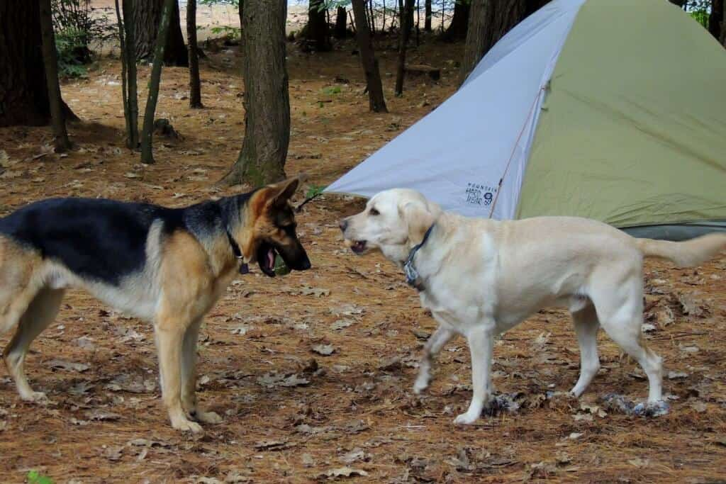 Two dogs playing in front of a tent at Quechee State Park
