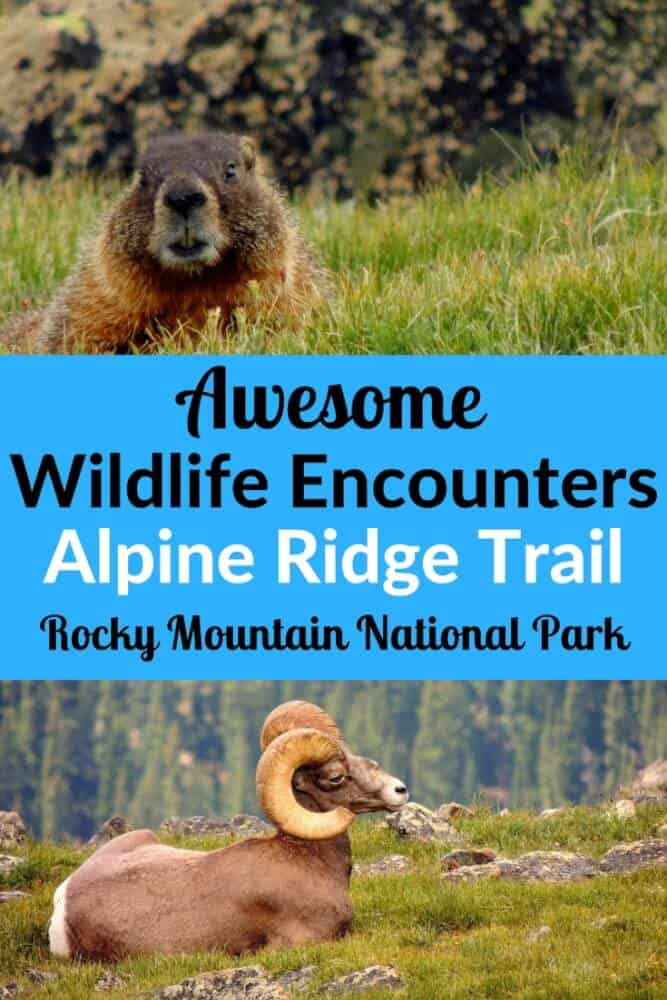 The Alpine Ridge Trail in Rocky Mountain National Park provides amazing views and wildlife encounters for very little effort. #national parks #hiking #RockyMountains