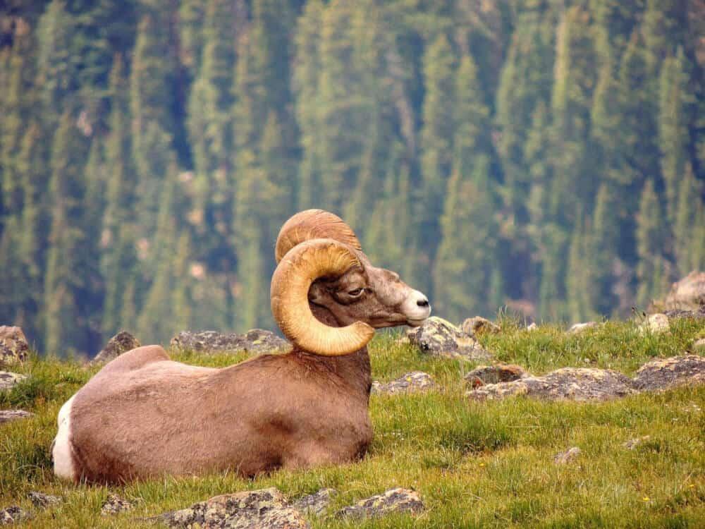 A bighorn sheep on the Alpine Ridge Trail