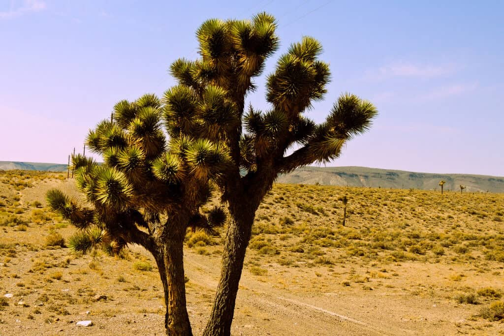 A single Joshua tree in the desert off the Extraterrestrial Highway