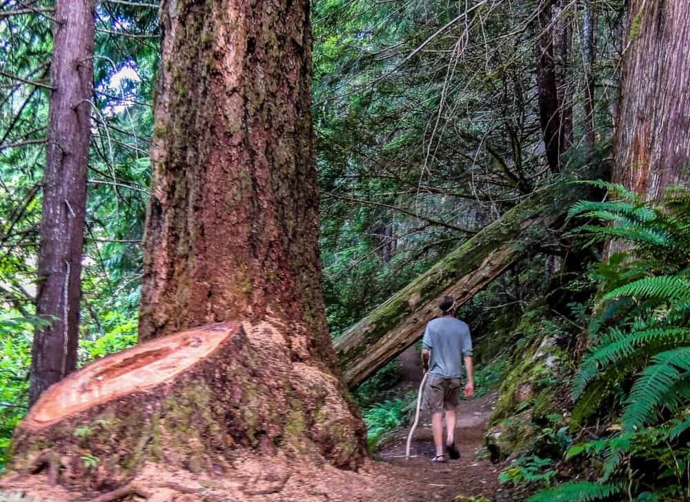 a man hiking next to a huge tree stump in North Cascades National Park