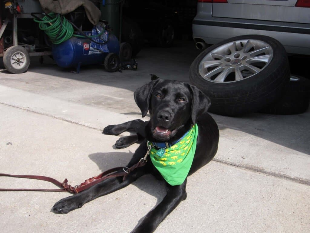 A black lab with a green bandana lays in front of a service station as a car is repaired.