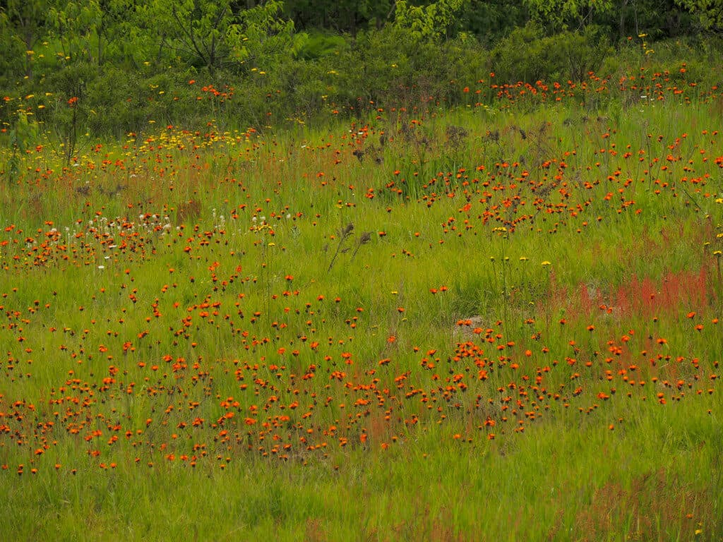 A field of wildflowers in Pictured Rocks National Lakeshore