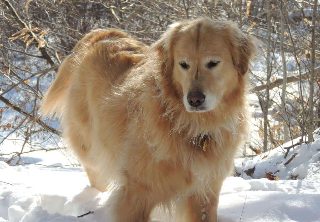 A fluffy golden retriever stands in the snow