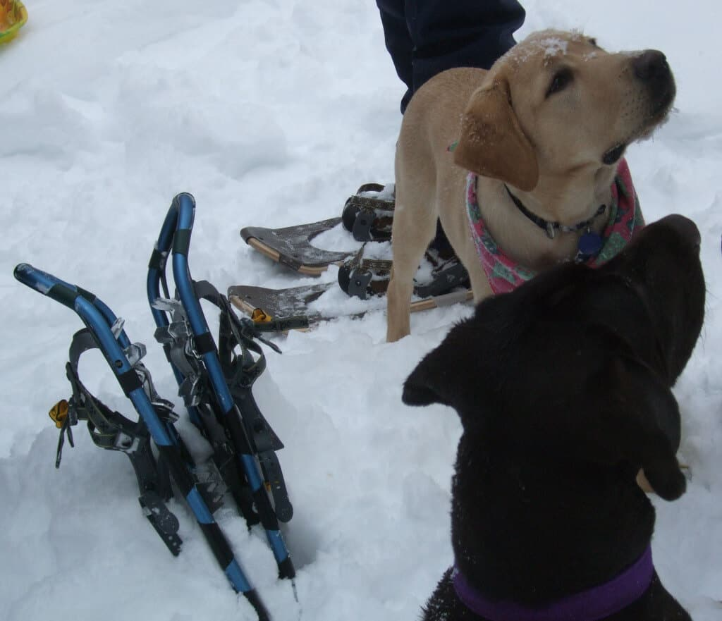 A yellow lab and a black lab stand in the snow next to a pair of snowshoes