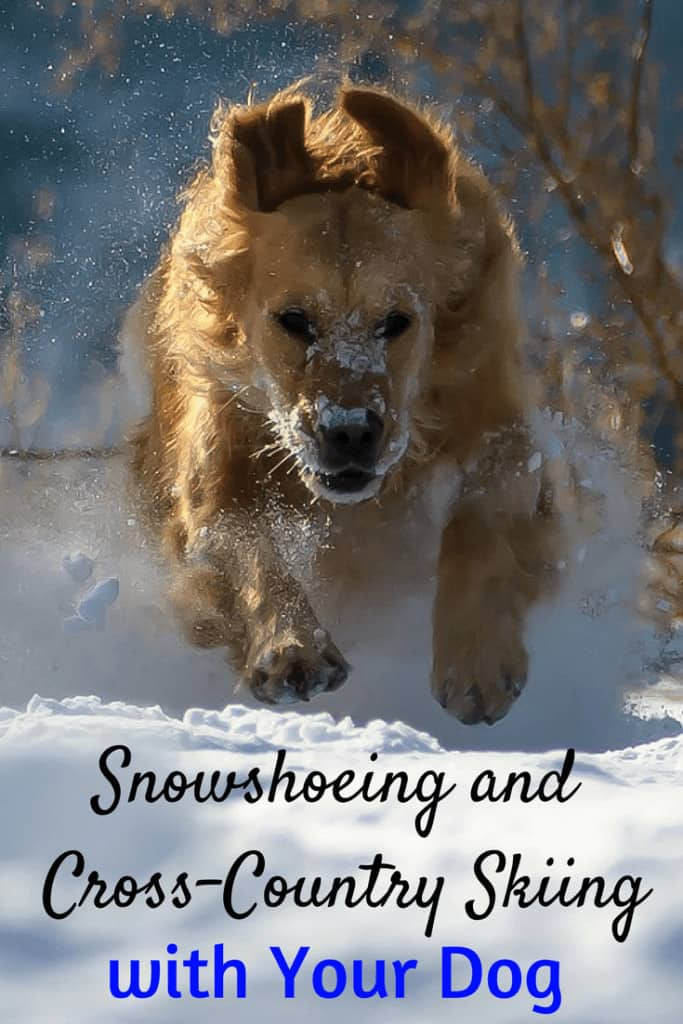 A golden retriever runs through the snow. Caption reads: Snowshoeing and Cross-country Skiing with Dogs