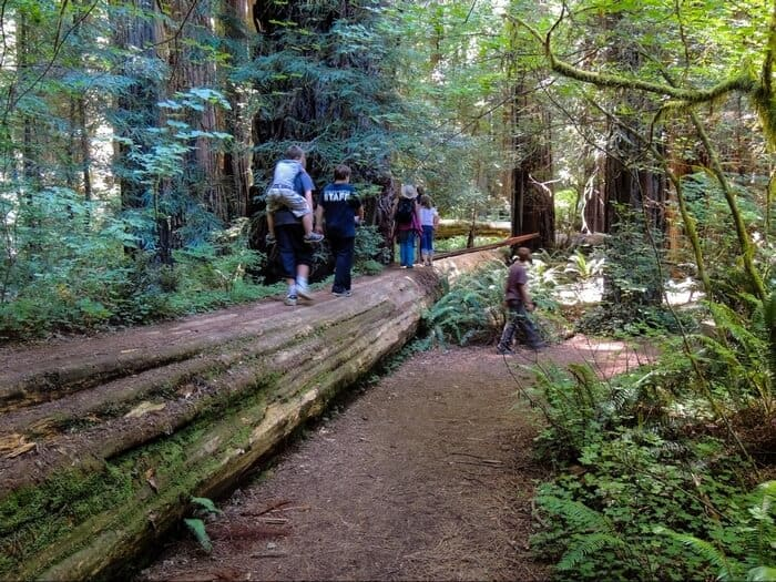 Several kids hiking in the Redwoods of California. They are walking along a downed log.