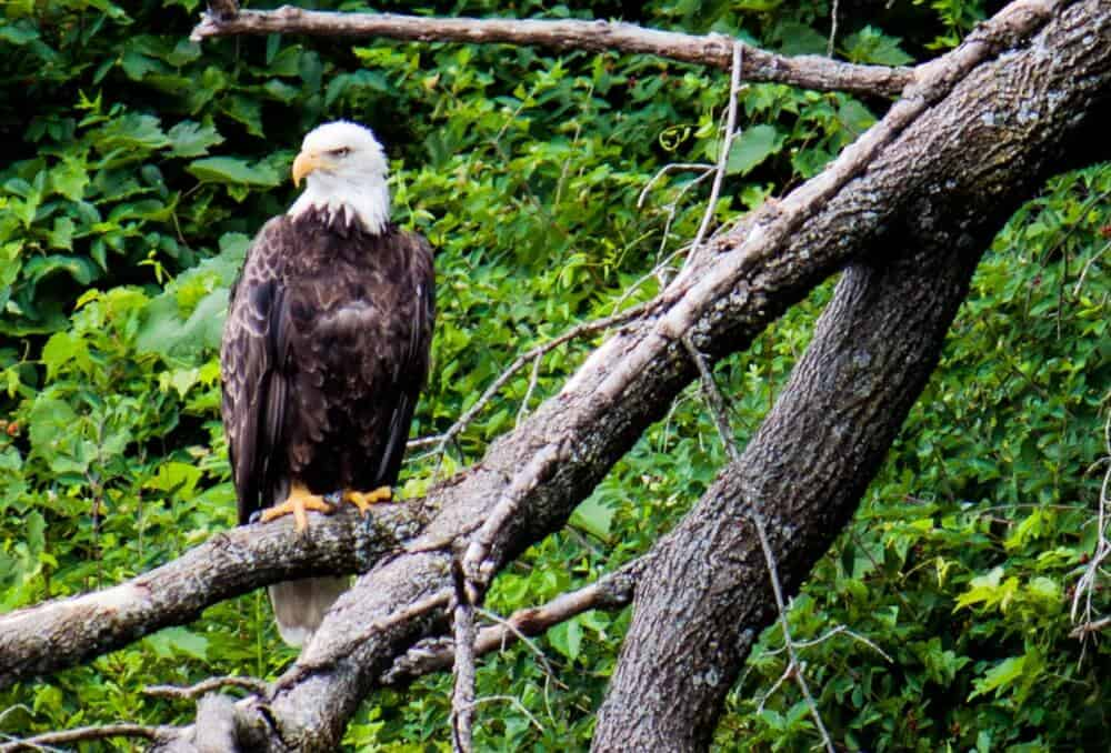Connecticut River Bald Eagle in a tree