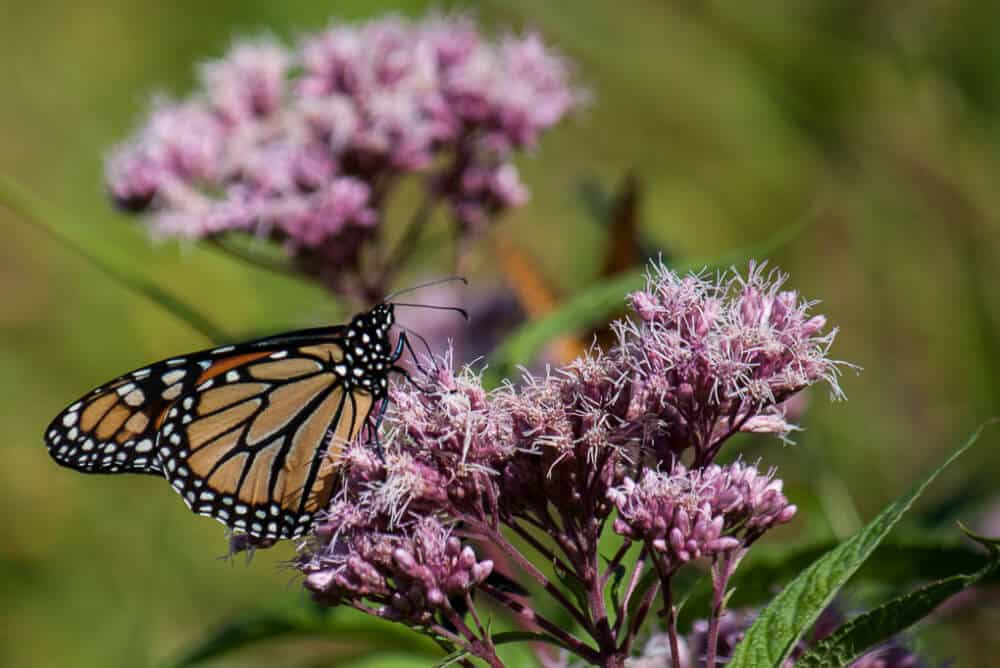 lovely monarch butterflies on milkweed flowers
