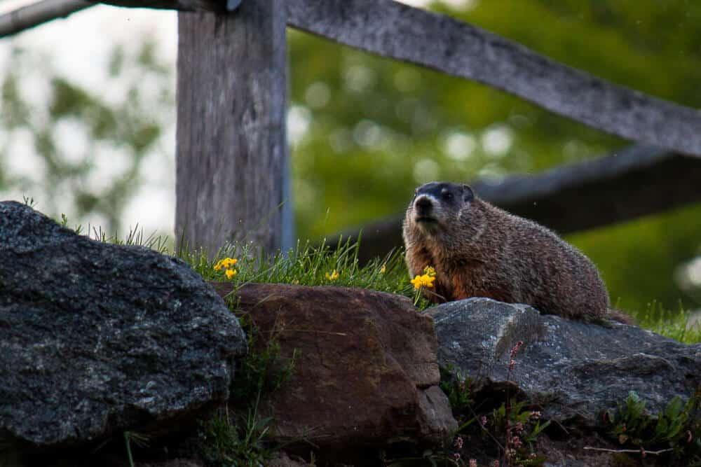A lone woodchuck hanging out on a rock wall at Mount Snow.