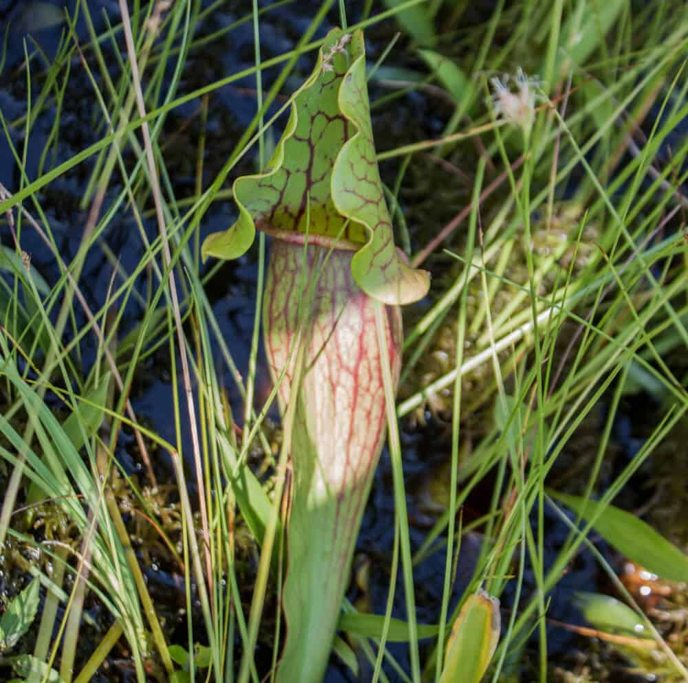 A pitcher plant located in Colchester Bog.