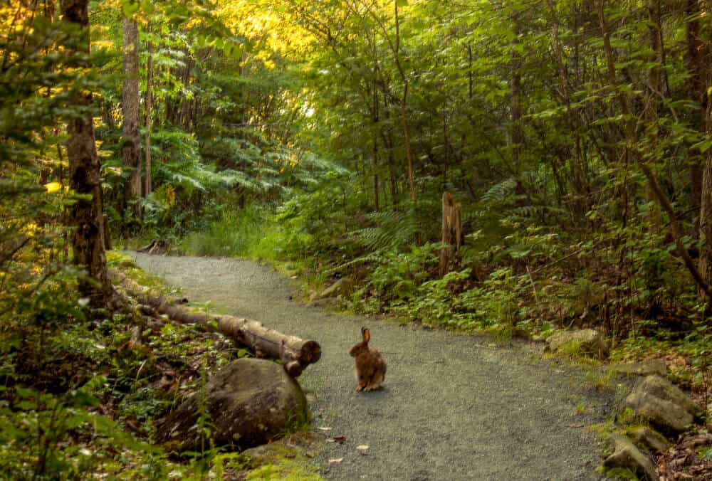 a rabbit sits in the middle of the trail in Groton State Forest, VT.