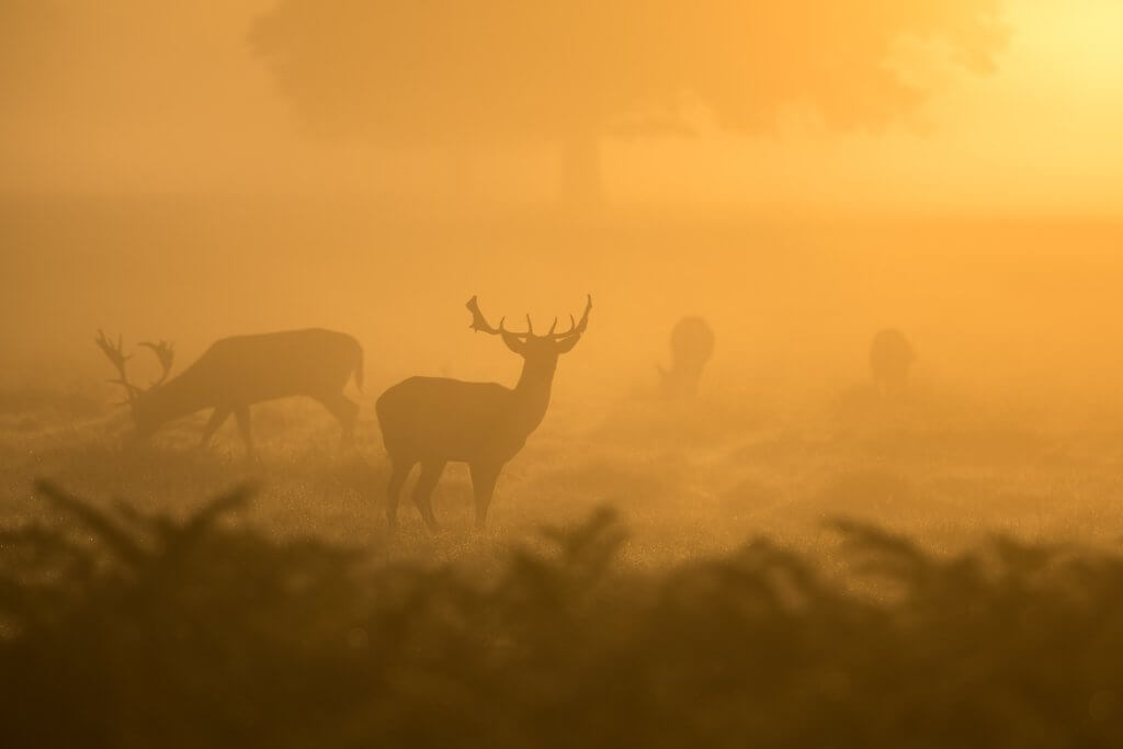 Several deer graze in the sunset during hunting season.