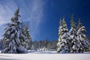 Cut Down Your Own Christmas Tree in Your National Forest