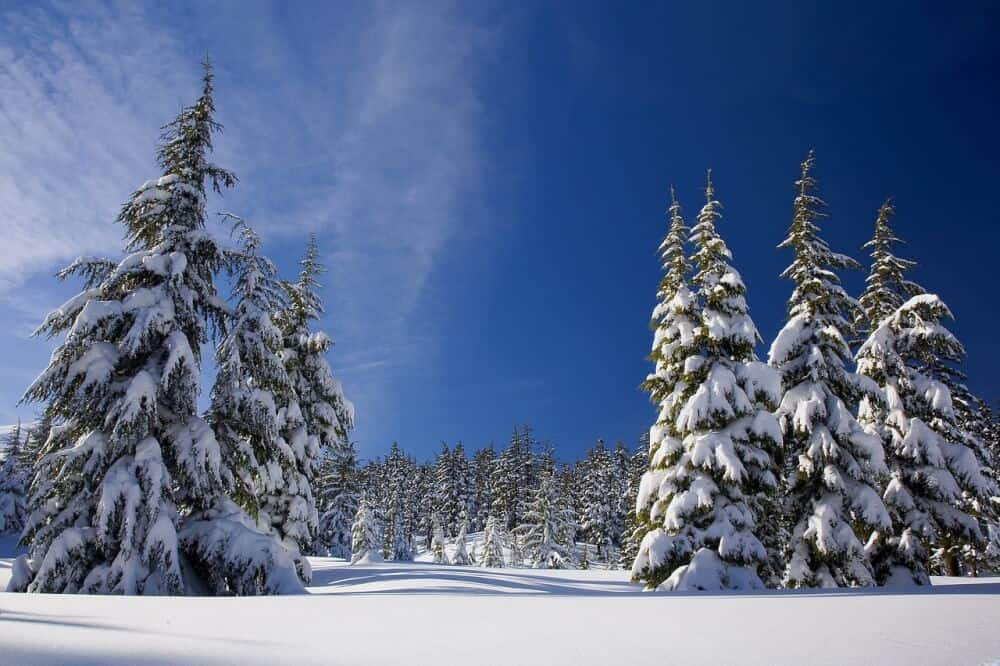 Christmas Forest.Cut Down Your Own Christmas Tree In Your National Forest
