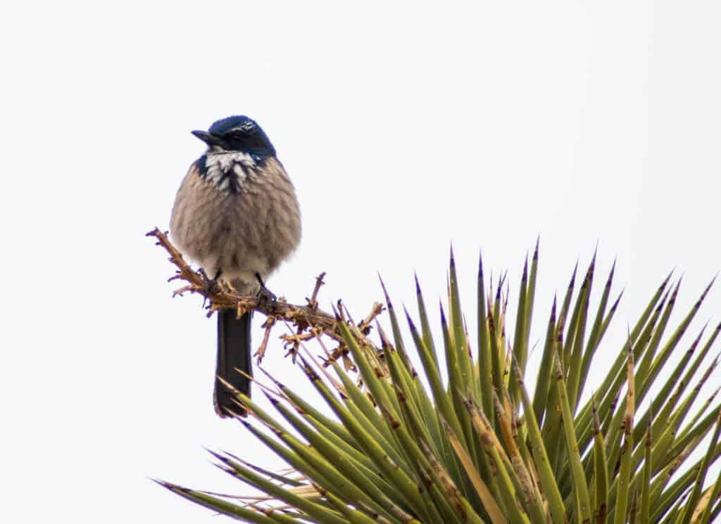 A blue bird hanging out in a Joshua Tree near Barker Dam.