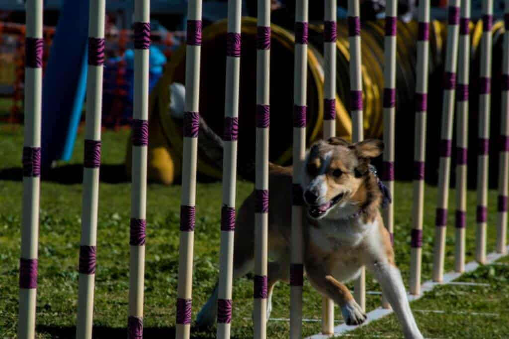 The dog agility demonstration at the Lake Havasu Balloon Festival