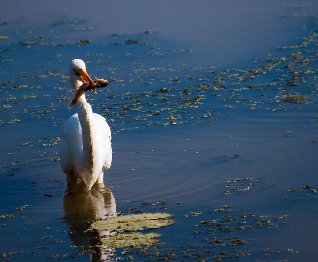 An egret fishing in a swampy wetland