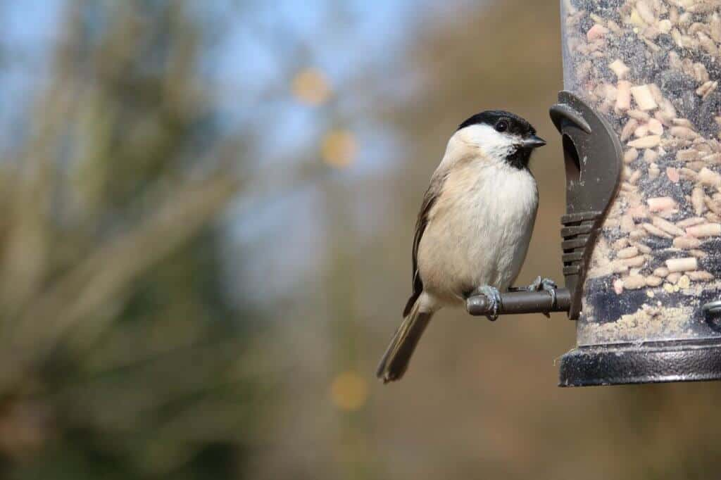 A chickadee eats from a backyard bird feeder.
