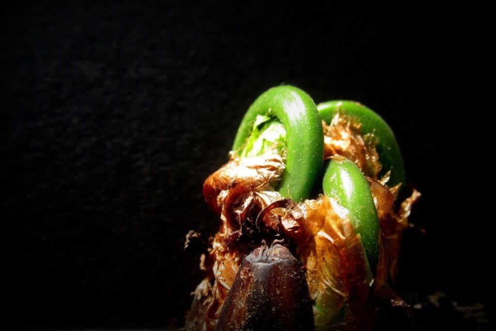 Fiddleheads just starting to unfurl.
