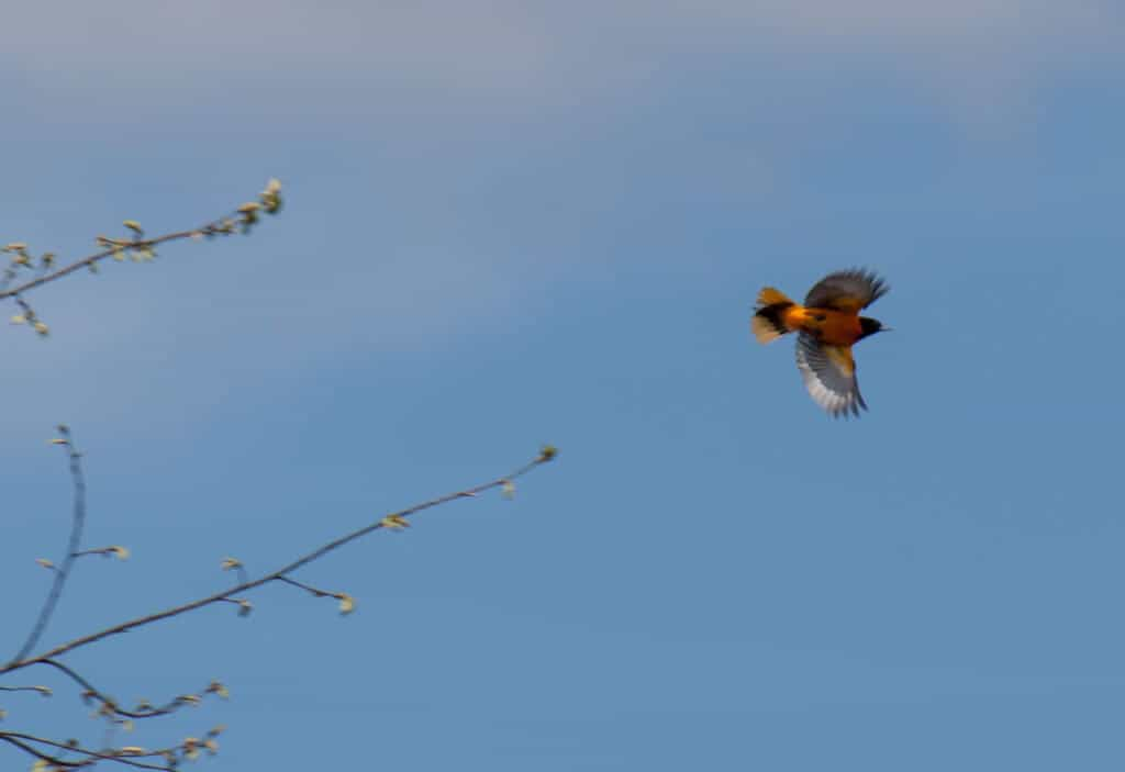 An oriole flying across a blue sky in early spring