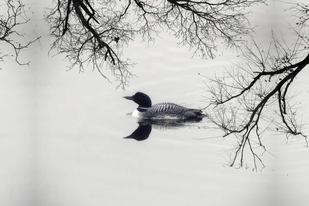 Spring is the best time watch the birds. Here, a lone loon cruises along the shores of a quiet lake in the spring.