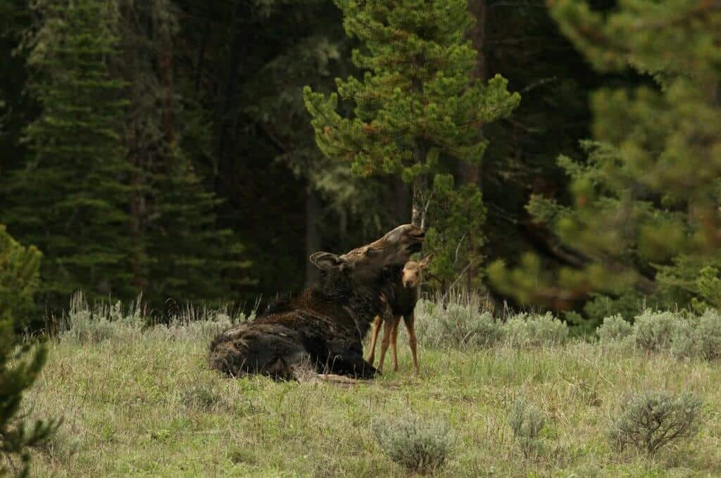 A mother moose and her baby in the woods on a spring camping trip.