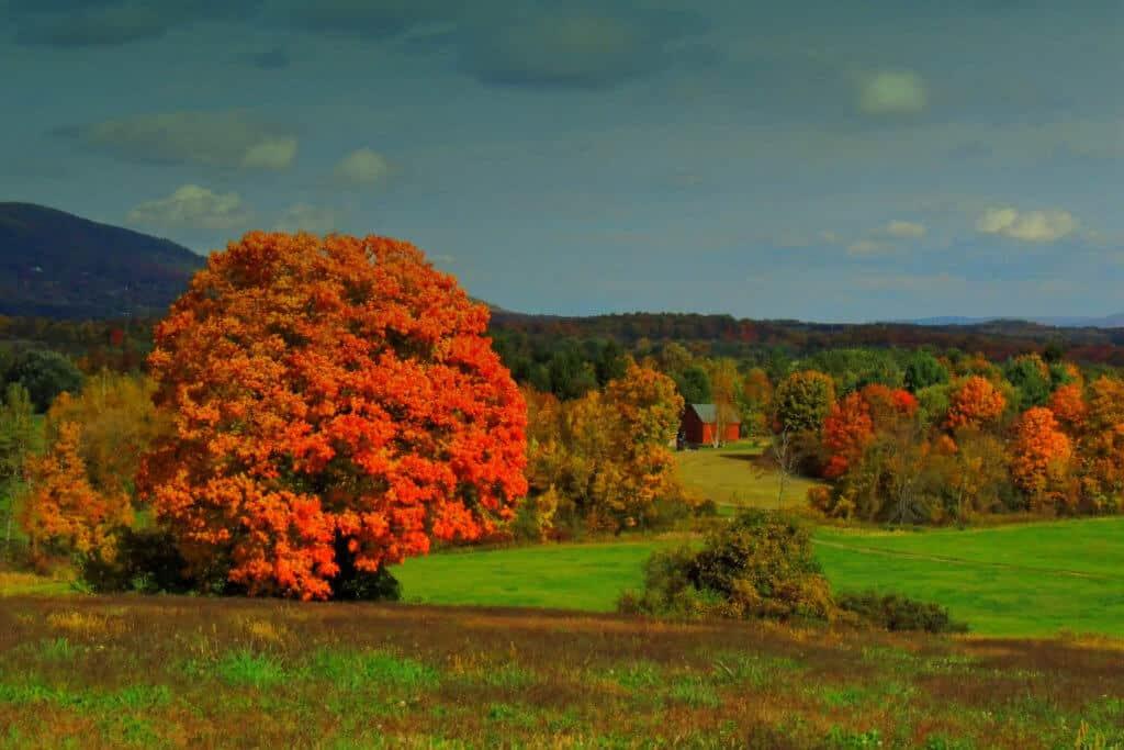 A shot of a huge sugar maple in North Bennington, Vermont