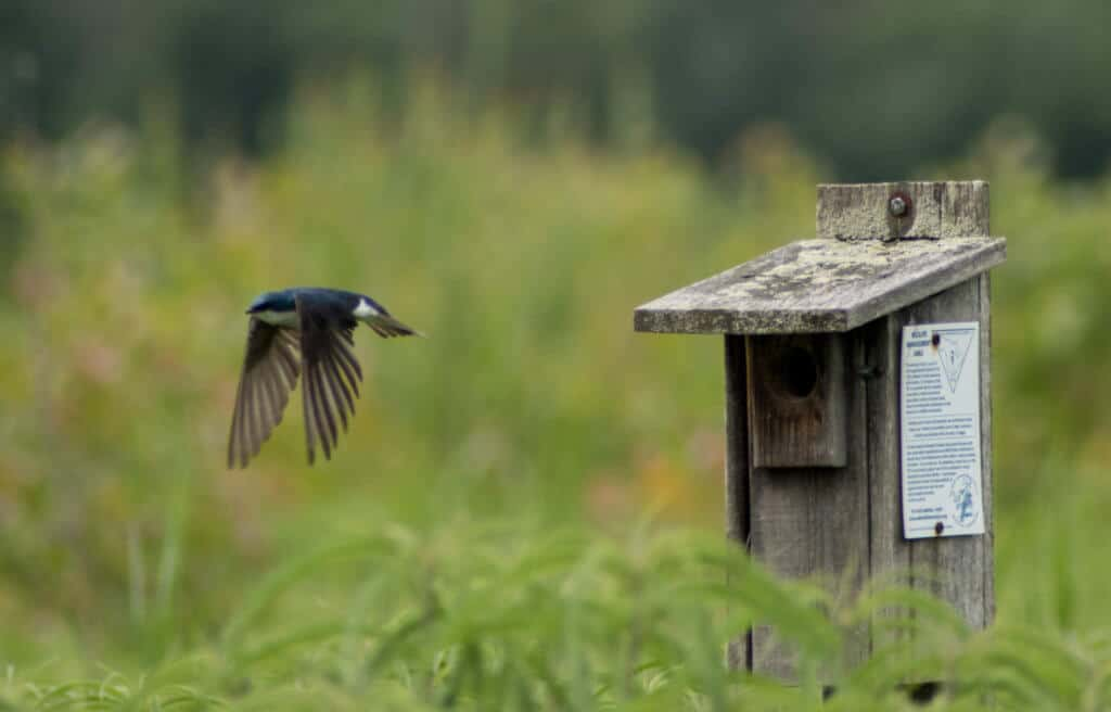 A house swallow flies from a bird house in Montezuma National Wildlife Refuge