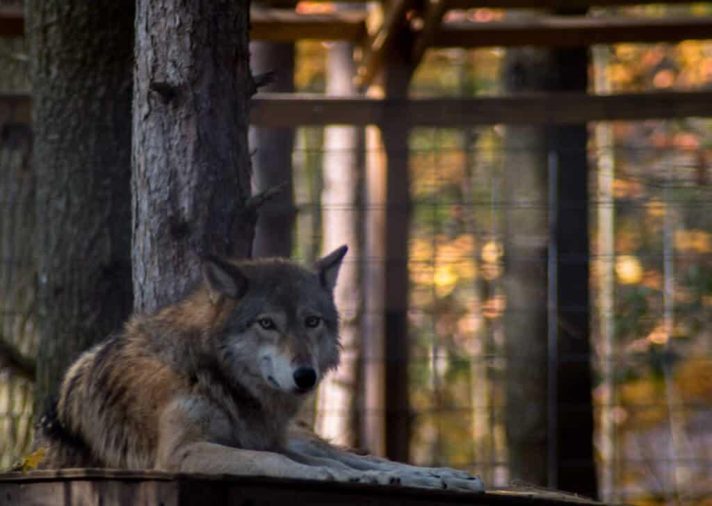 Adirondack Wildlife Refuge - wolf