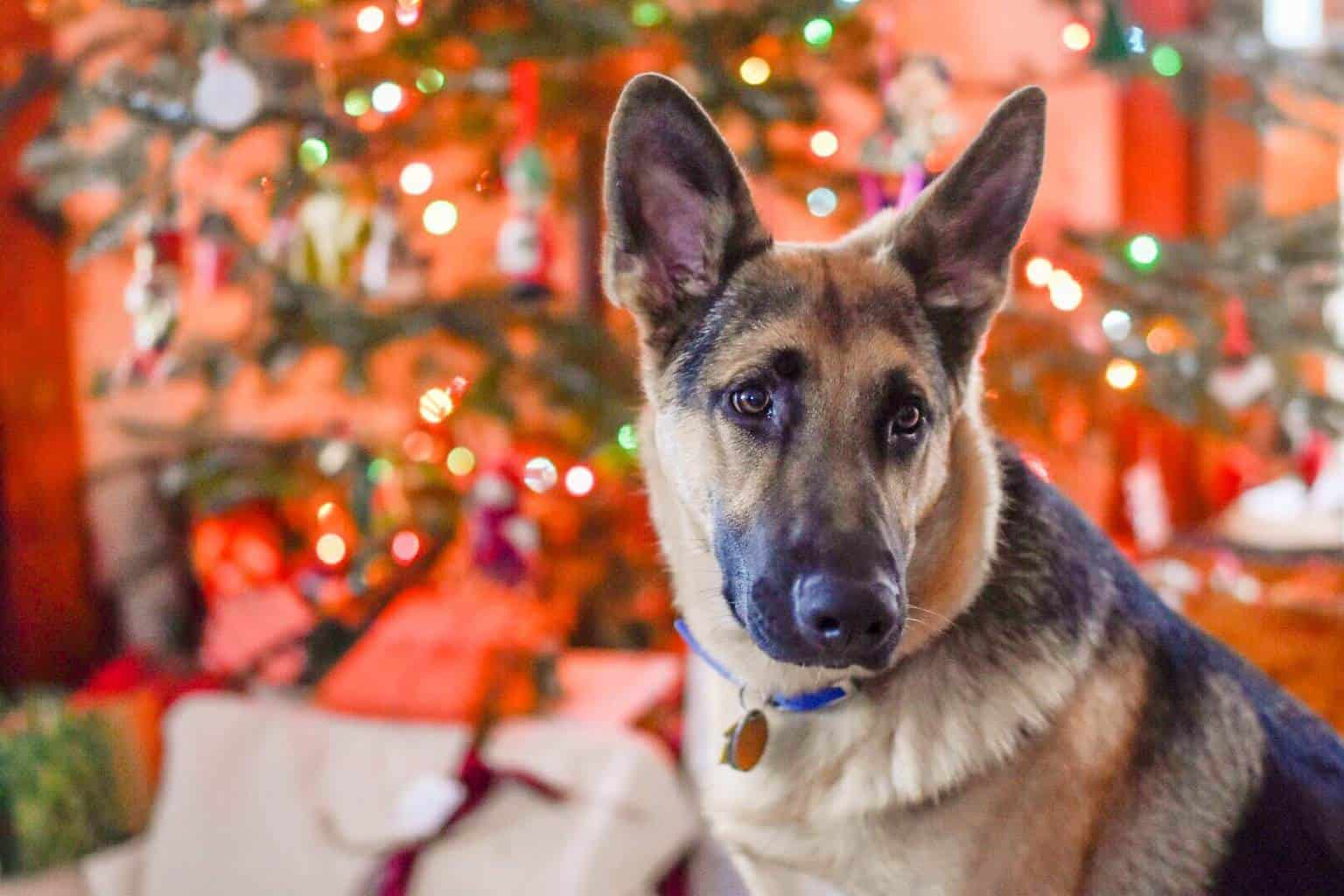 A German Shepherd sits in front of a Christmas Tree