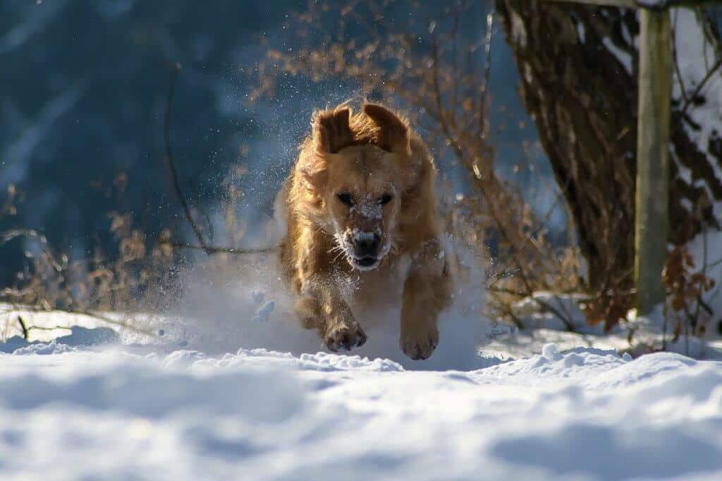 A golden retriever running through the snow