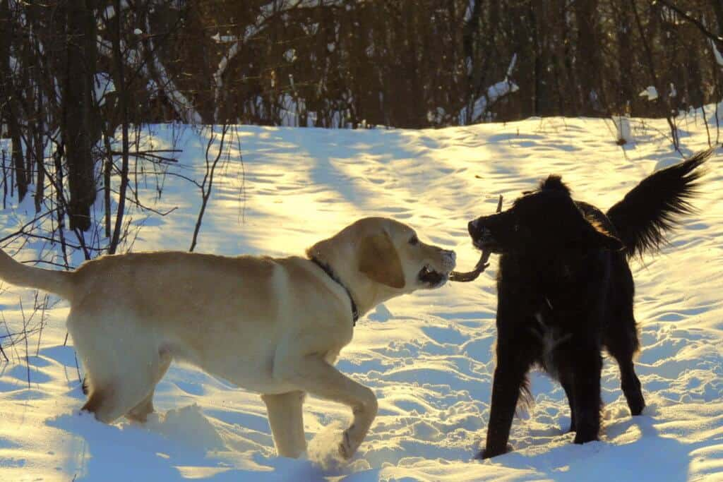 two dogs chewing on a stick in the snow