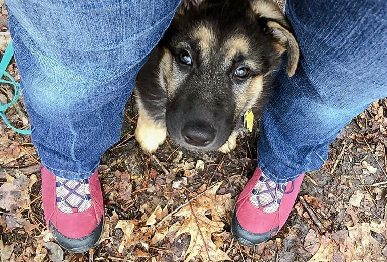A German Shepherd puppy looking up at the camera between a pair of red shoes.
