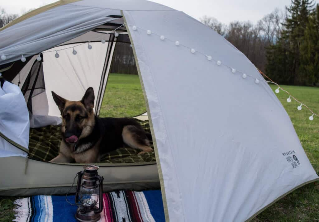 A German shepherd relaxes in a small tent while camping.