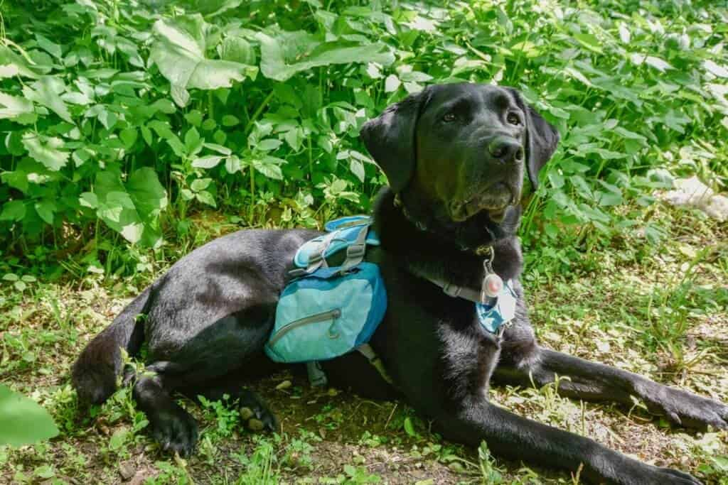 A black Labrador lying in the woods wearing a turquoise backpack