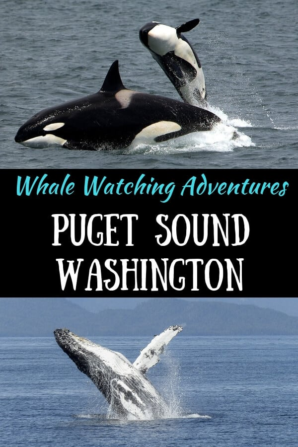 "Two photos - one of a killer whale, the other of a humpback whale, with the caption ""whale watching adventures in Puget Sound, Washington"""