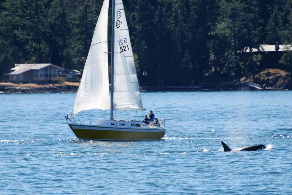 An orca swims next to a sailboat near Friday Harbor