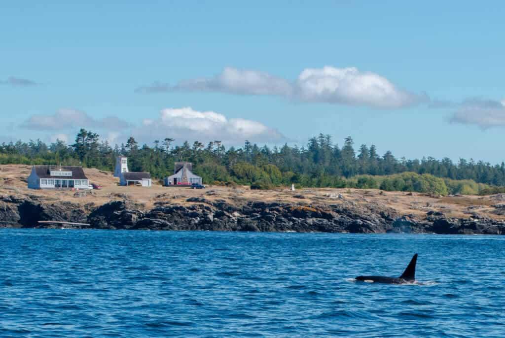 A southern resident orca near San Juan Island.