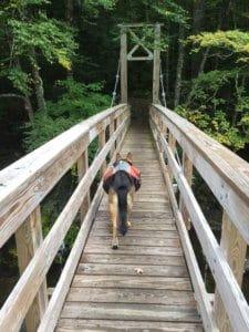 A German Shepherd wearing a backpack walks across a bridge on the Long Trail in Vermont