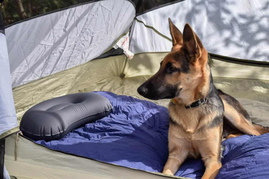 The interior of a tent, featuring a German Shepherd puppy, a purple sleeping bag, and an inflatable pillow.
